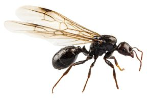 How are flying ants different from termites?
