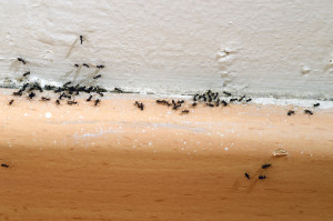 Ant Removal Portland