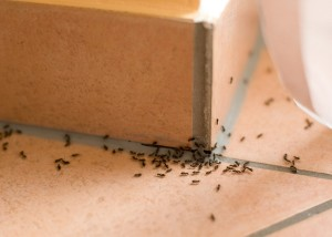 Ant Removal Lake Oswego