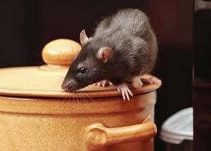 Rodent Removal Portland